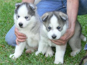 Quality, siberian husky puppies For Adoption