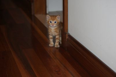 Pure Breed Manx Kittens Ginger Male and Tabby Female Rumpy Risers