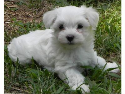 Incredibly tiny teacup maltese