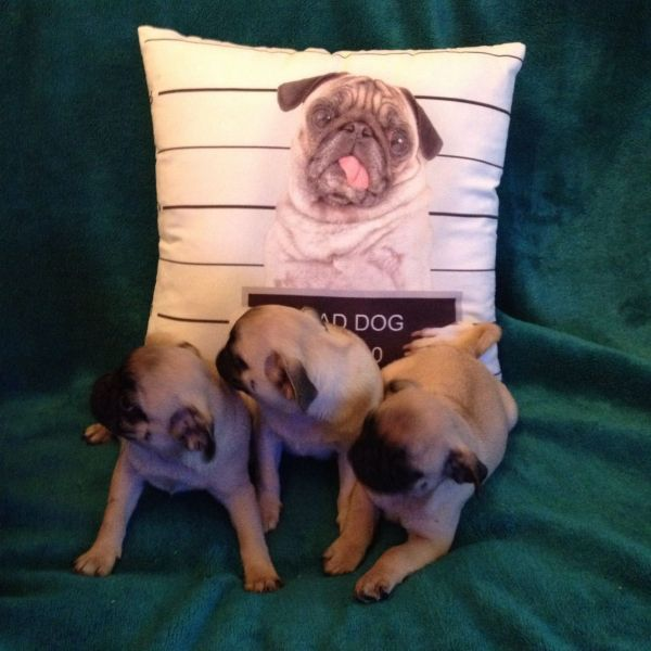 Adorable Male and Female Pug Puppies Available