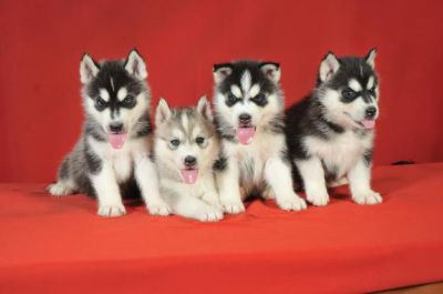 Lovely Blue Eyes Siberian Husky Puppies for rehoming