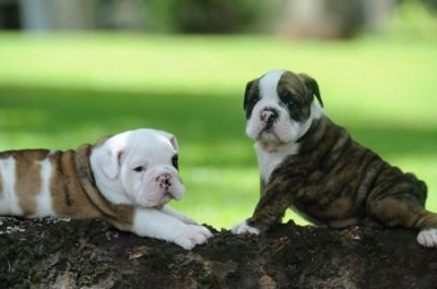Healthy English Bulldog Puppies For Free Adoption