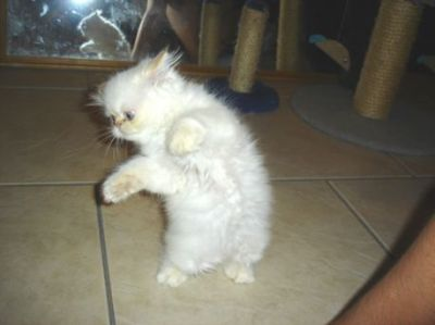 We offer White Doll Faced Persian Kittens for adoption