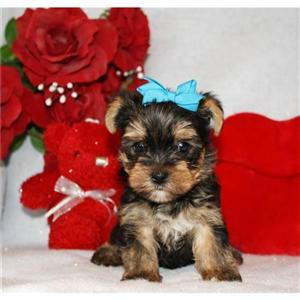 Teacup yorkie puppies Available Now for loving homes.