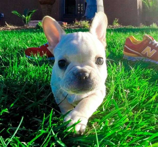 Great Small French Bulldog Puppies Available