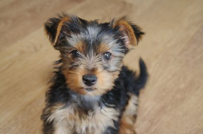 11 weeks old well trained and healthy yorkie male and female puppies,