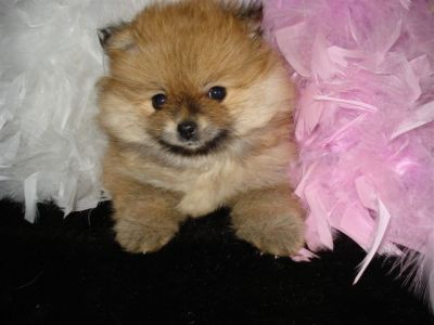 Pomeranian Puppies both sex Male& Female available