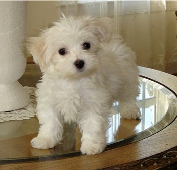 Adorable Male And Female Maltese Puppies Ready For A New Home.