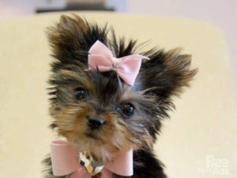 Yorkies puppies for free adoption