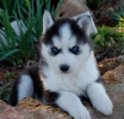 We have very good looking and lovely husky puppies