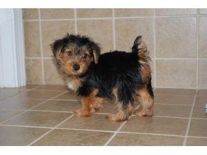 Socialize Yorkie puppies for sale.