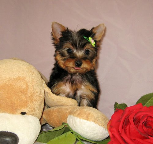 Quality Male And Female Yorkie Puppies Adoption