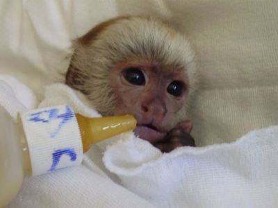 KID-FRIENDLY BABY CAPUCHIN MONKEY FOR ADOPTION