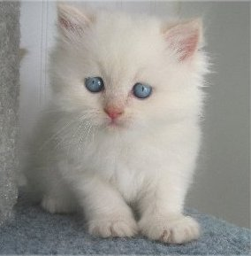 Beautiful male and female Persian Kittens