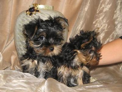 adorable  tea cup yorkie  puppies for free adoption...
