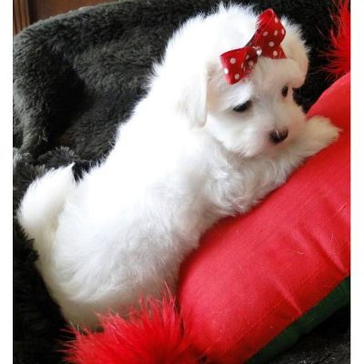 Two nice baby face lisa and ramcy Adorable Maltese Puppies For Free Adoption they are 14 weeks old,