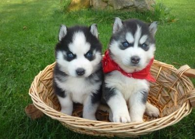 pair of male and female siberian husky puppies for xmas adoption
