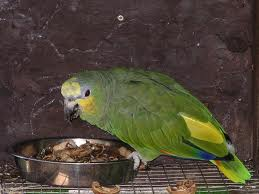 nice lovely amazon parrot   for sale