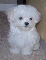 Maltese Pups Male and Female for urgent adoption