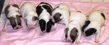 Gorgeous quality French bulldog litters for new homes.
