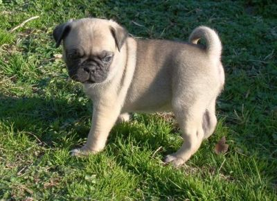 pug puppies 12 weeks old