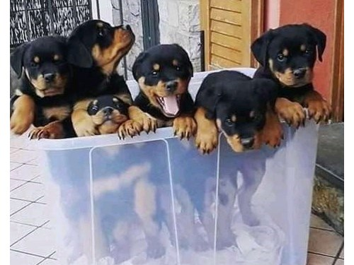 Adorable Rottweiler puppies