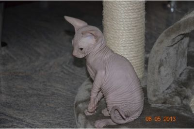 Cute male and female Sphynx kittens for adoption.