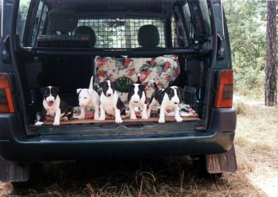 Bullterrier puppies for new home