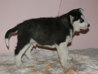 Bo-Diddley - Siberian Husky puppy for sale