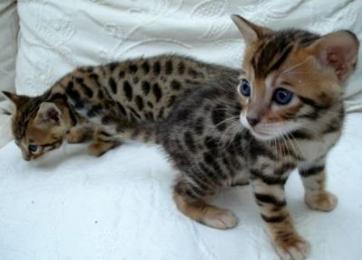 VERY EXOTIC serval, savannah, ocelot and bengal kittens for sale
