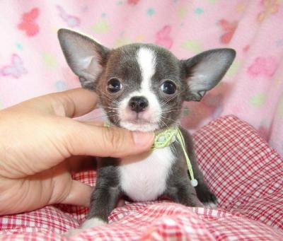 HEALTHY FEMALE T-CUP CHIHUAHUA PUPPY FOR RE-HOMING