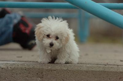 Wow!!!!cute adorable female t-cup poodle for adoption