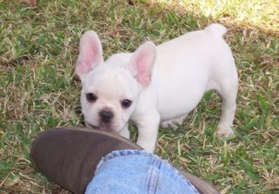 lovely female french bull dog for adoption