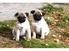 Affectionate pug puppies for adoption