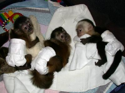 Cute X-Mass Baby Capuchin Monkey For Free Adoption