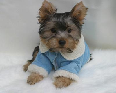 yorkiepuppies for re hopming