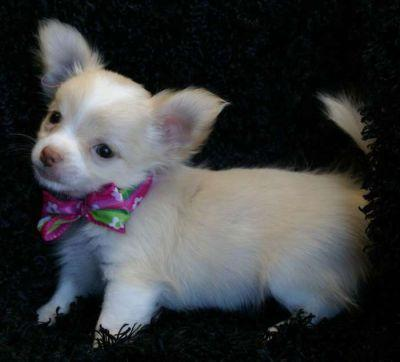 Chihuahua puppies for lovely pet homes