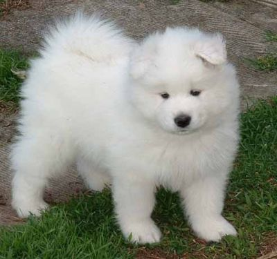 Cute Samoyed Puppies For ale $400