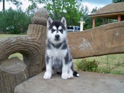 lovely nice looking siberian husky puppy  for sale, for good home care