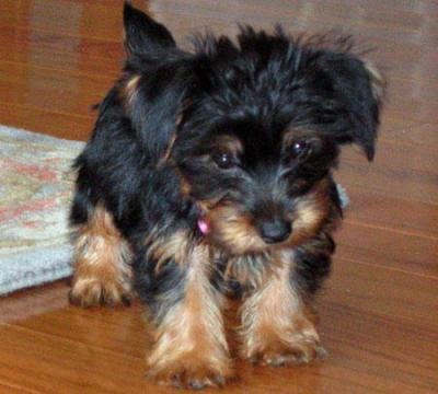 lovely and charming yorkies puppy for adoption