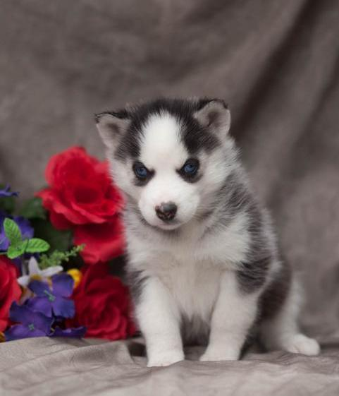 Qualified Siberian Husky Dog