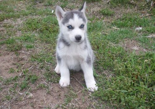 Blue Eyed Siberian Husky Puppies !!! Absolutely Adorable !!