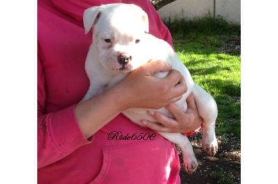 Cute English Bull dog puppies for adoption
