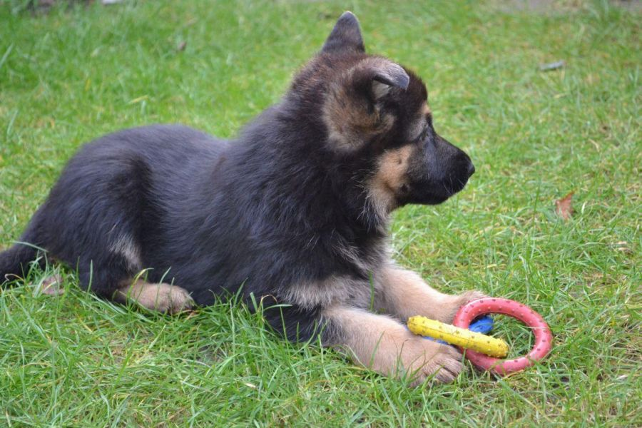 PureBred German Shepherd Puppies Available for Adoption