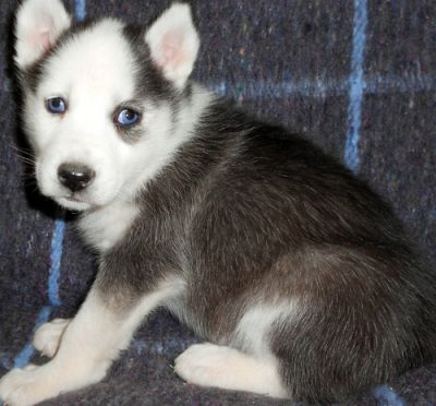intelligent siberian husky puppies for XMAS