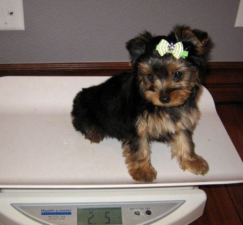 Affectionate Yorkie Puppies Available