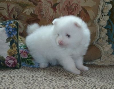 AKC registered Pomeranian puppies