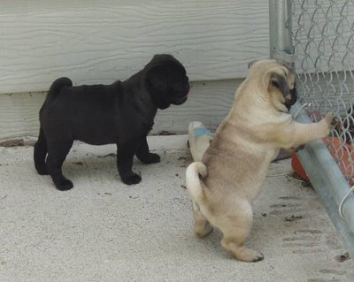 Male and Female Pug Puppies Available For Adoption