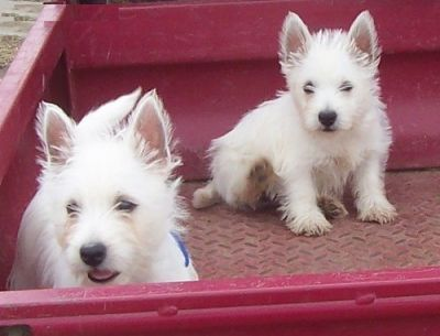 Cute snow white West highland terrier puppies for adoption