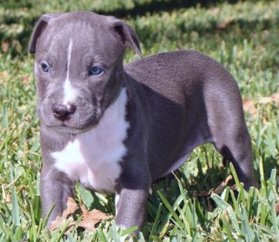 Young And Healthy Pit Bull Puppies